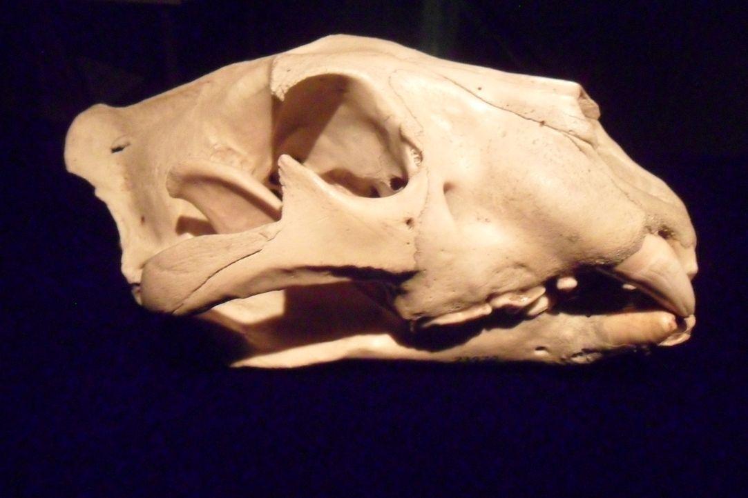 Wie viele Menschen hat dieses Tier auf dem Gewissen? Don Wildman beschäftigt sich mit einem mysteriösen, menschenfressenden Biest aus Afrika. - Bildquelle: 2012,The Travel Channel, L.L.C. All Rights Reserved