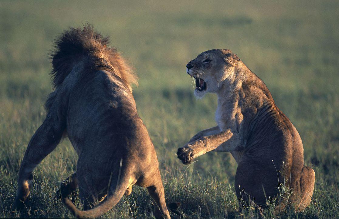 Eines Tages brechen Löwen eines feindlichen Rudels in die Idylle ein. Die selbstbewusste Suki (r.) startet sofort einen Gegenangriff und es gelingt... - Bildquelle: John Downer John Downer Productions Ltd