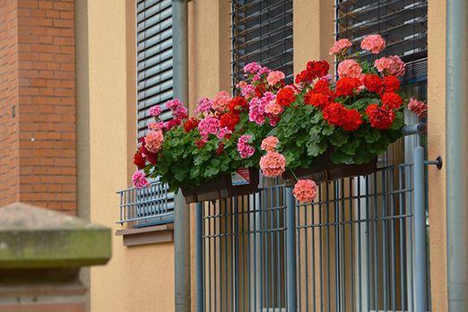 das sind die sch nsten sommerpflanzen f r den balkon sat 1