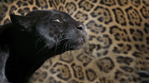 Leopardenfell und Panther