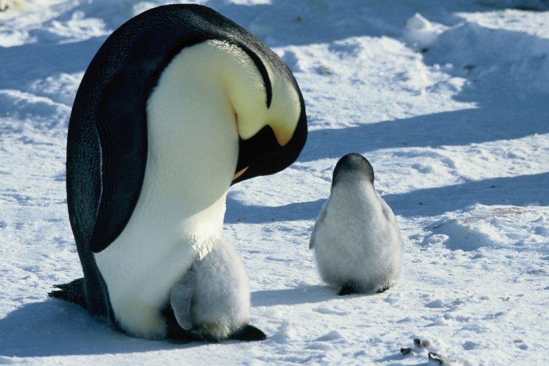Nach zwei schier endlosen Monaten, in denen die Männchen keine Nahrung zu sich nehmen, schlüpfen die Küken. In jener unheimlichen weißen neuen Welt,... - Bildquelle: Kinowelt Filmverleih