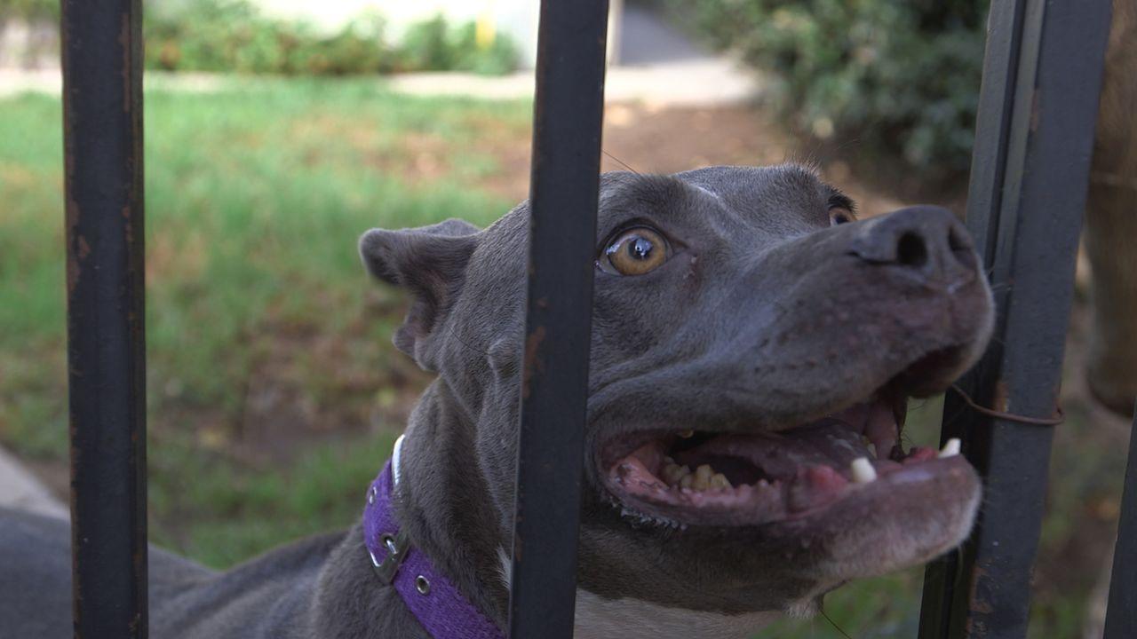 Das ständige Bellen von Pitbull Luna geht Lillian und Jerold immer mehr auf die Nerven. Sie setzten große Hoffnungen darauf, dass Cesar den Hund ihr... - Bildquelle: NGC/ ITV Studios Ltd
