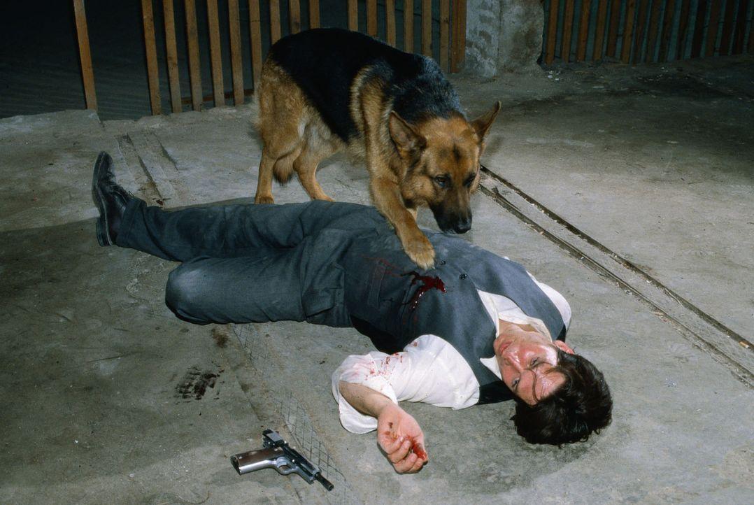 Kommissar Moser (Tobias Moretti) ist schwer verletzt zu Boden gegangen. Rex spürt, dass es ernst um ihn steht. - Bildquelle: Ali Schafler Sat.1