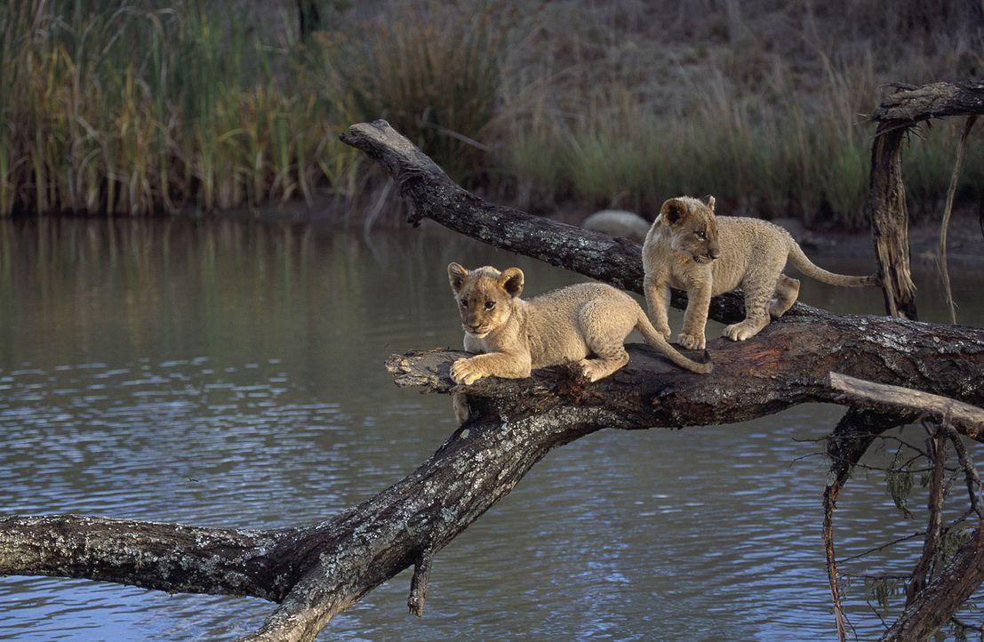 Die ersten Ausflüge fordern den zwei Löwenbabys Suki (l.) und Linus (r.) einiges ab ... - Bildquelle: John Downer Productions Ltd