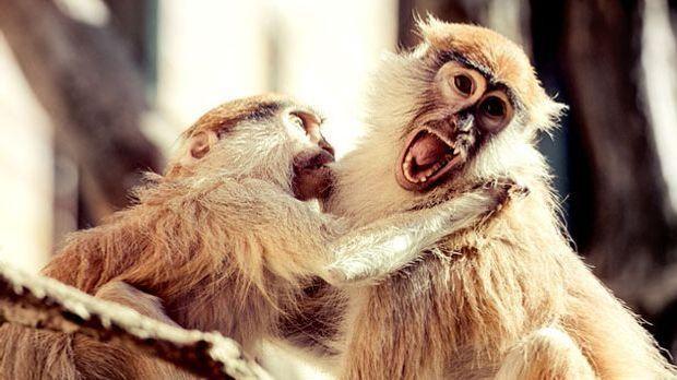 Bei Eifersucht bleibt Streit nicht aus - Mensch oder Affe, ganz egal