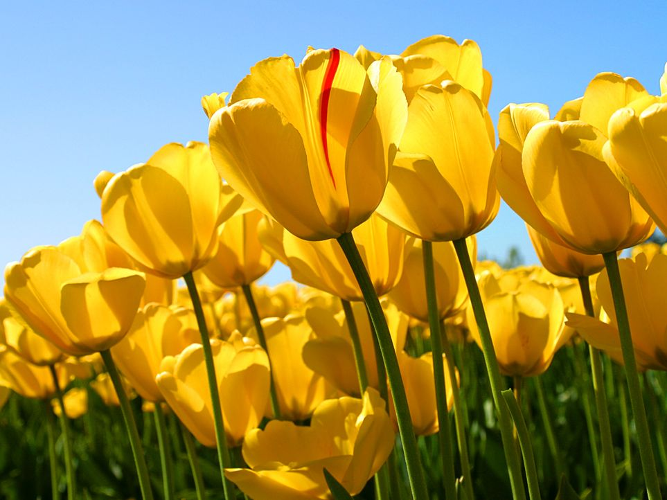 Tulips - Bildquelle: © Microsoft Corporation