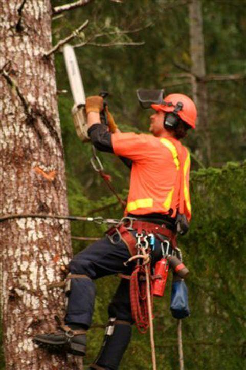 Die Holzfäller erklimmen mit Gurt und Steigeisen die bis zu 60 Meter hohen Bäume und kappen gewaltige Äste und Kronen in schwindelerregenden Höh... - Bildquelle: Patrick Cummings kabel eins
