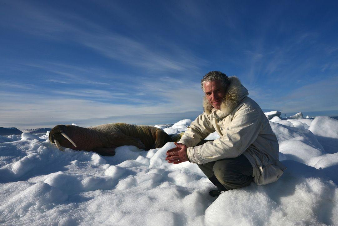 Bei seiner ganz besonderen Reise durch Schnee und Eis der Svalbard Inseln trifft Gordon Buchanan auch auf Walrosse ... - Bildquelle: Gordon Buchanan