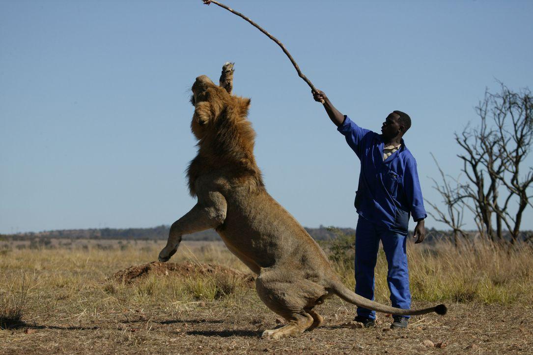 Nach und nach gewinnen die stolzen Tiere ihre permanenten Beobachter richtig gerne, so dass Livingstone sogar kleine Scherze mit ihnen treiben kann... - Bildquelle: BBC 2004
