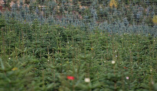 Weihnachtsbaum - Bildquelle: dpa
