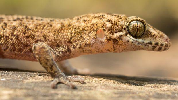 Sogar ein Gecko kreuzt in Thailand den Weg des Teams ... © Mike Reid Cream Pr...