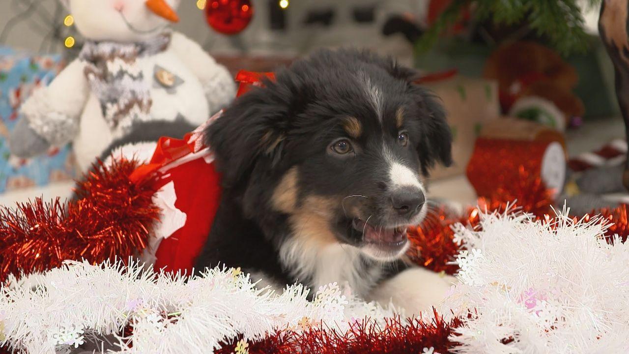 Weihnachtsstimmung mit Mini-Wauzis: Zum schönsten Fest des Jahres erscheinen... - Bildquelle: sixx