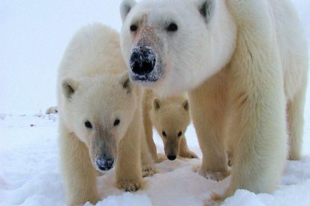 Die Eisbären haben die Kamera des Filmteams um den bekannten Tierforscher Sir David Attenborough zwischen den Eisschollen entdeckt. - Bildquelle: John Downer Productions