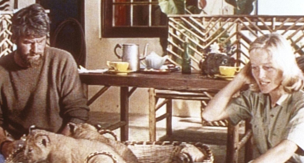 George Adamson (Bill Travers, l.) kehrt von einer Safari mit drei Löwenbabys nach Hause zurück. Er musste ihre Mutter erschießen, als sie ihn anfiel... - Bildquelle: 1965, renewed 1993 Columbia Pictures Industries, Inc. All Rights Reserved.