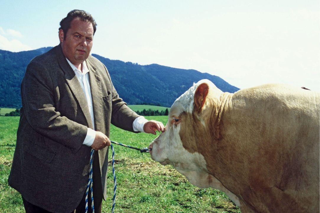 Benno (Ottfried Fischer) und der Zuchtbulle von Tölz ... - Bildquelle: Magdalena Mate Sat.1