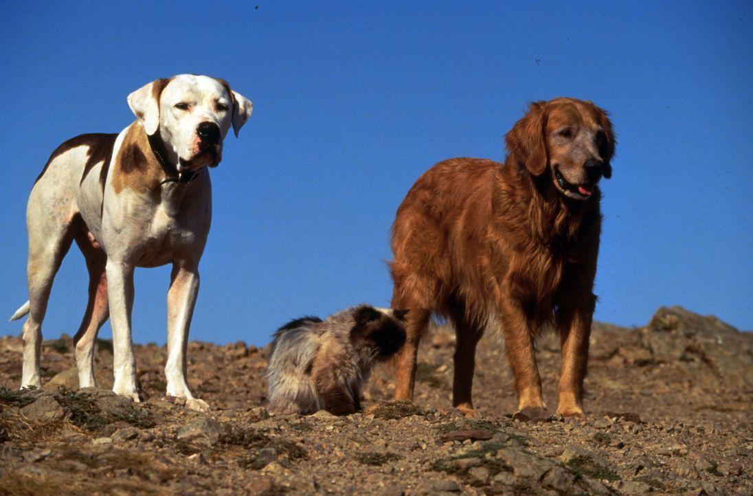 Geraten mal wieder in ein gefährliches Abenteuer: Dogge Chance (l.), Golden-Retriever Shadow (r.) und Siamkatze Sassy (M.) - Bildquelle: Walt Disney Pictures