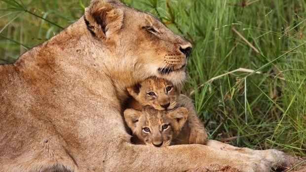 Die Löwenmutter und ihre Kinder haben eine besonders enge Verbindung: Acht Wo...