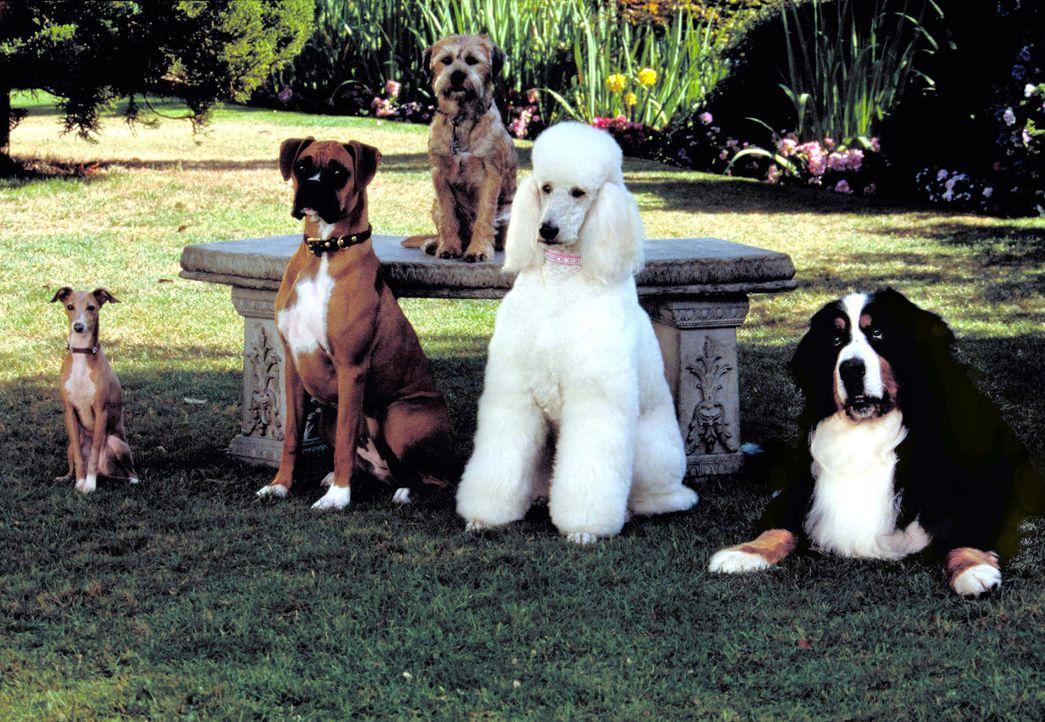 Als zu befürchten ist, dass die Chefin, eine deutsche Dogge, wutentbrannt alle Hunde von der Erde zurück zum Sirius beordern wird, entwickeln (v.l... - Bildquelle: Metro-Goldwyn-Mayer Studios Inc. All Rights Reserved.