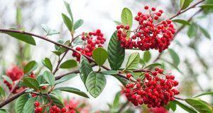 Roter Holunder ist an seinen roten Früchten zu erkennen. Wie beim Schwarzen H...