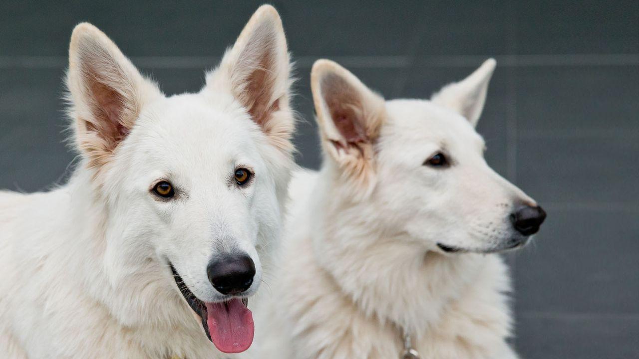 Weisser-Schaeferhund3 - Bildquelle: dpa
