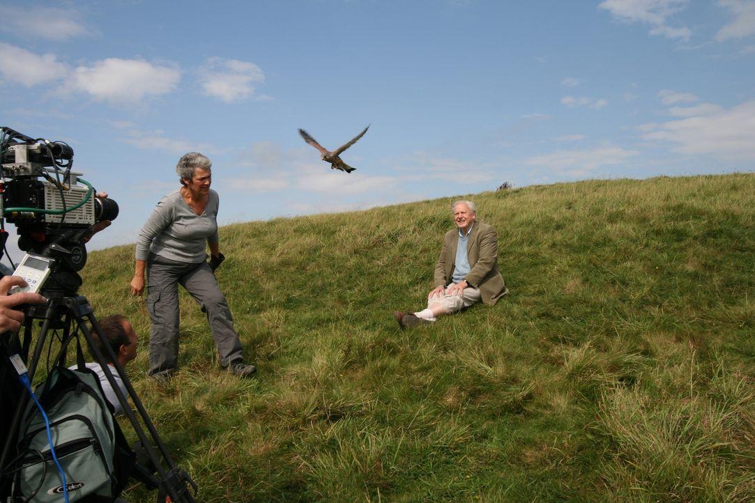 Er revolutionierte das Tierfernsehen: In seinem Rückblick zeigt der britische Dokumentarfilmer Sir David Attenborough wie er Falken fliegen ließ, Ko... - Bildquelle: BBC 2012  All Rights Reserved