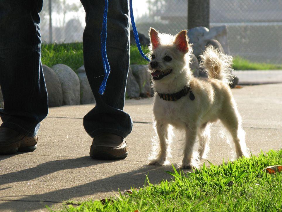 Chihuahua-Mischling Stanley hat sein Verhalten seit einem Umzug von New York nach Los Angeles komplett verändert und attackiert seine Besitzerin All... - Bildquelle: Rive Gauche Intern. Television