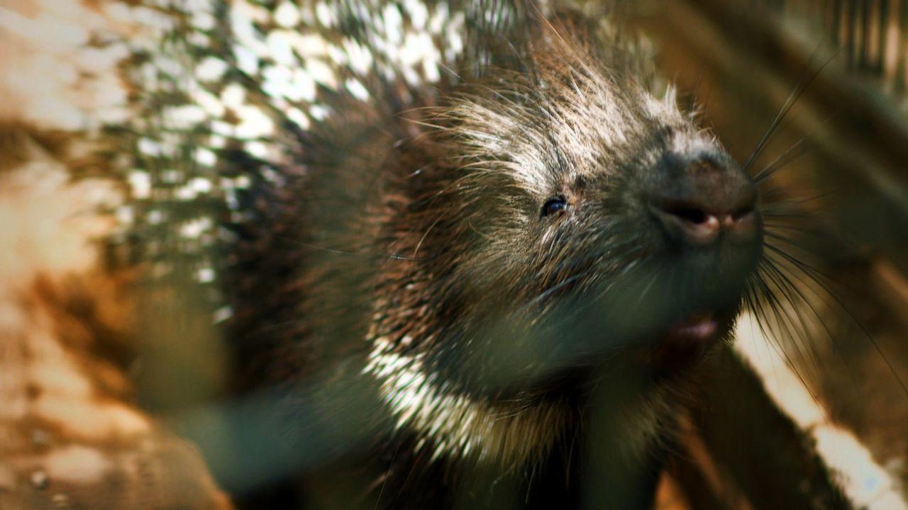 Ein Wunder der Wissenschaft. Das Stachelschwein Doreet leidet unter Liebeskummer... - Bildquelle: BBC 2015