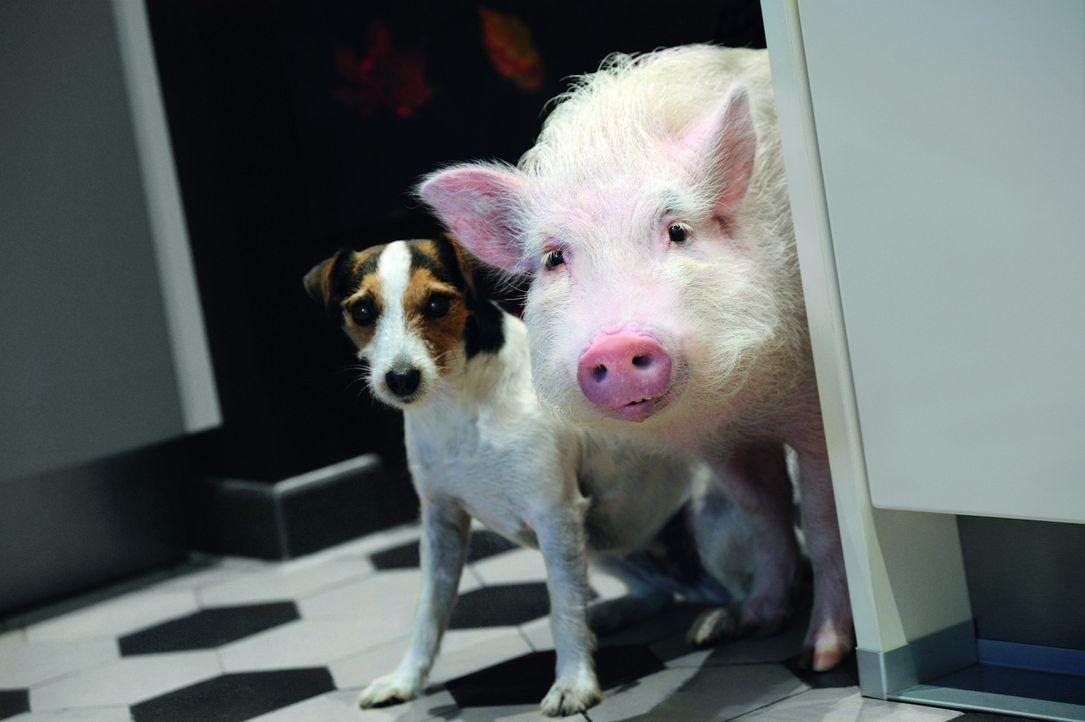 In tierischer Mission: Hausschwein Paula (r.) und Jack Russell Terrier Johnny (l.) helfen der Liebe auf die Sprünge ... - Bildquelle: SAT.1
