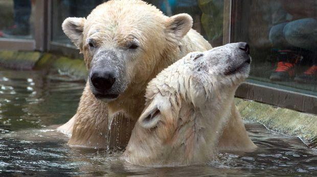 Eisbären Yoghi Giovanna