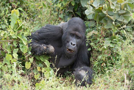 Tierfilmer Gordon Buchanan kehrt in die Demokratische Republik Kongo zurück,...