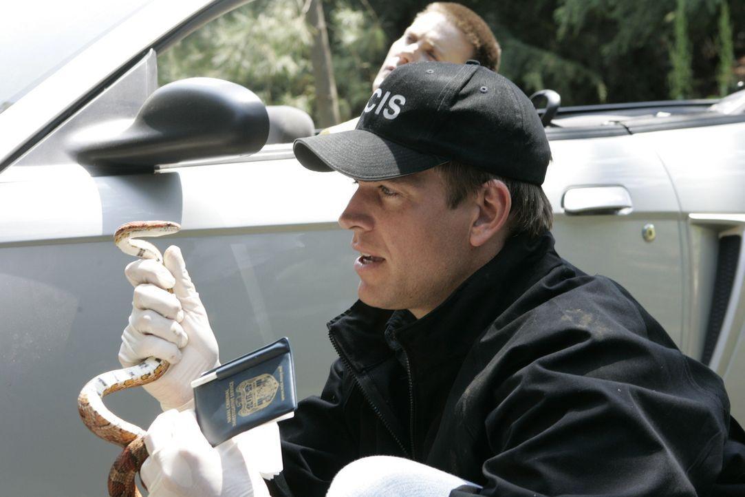 Bei den Untersuchen am Tatort macht Tony (Michael Weatherly) Bekanntschaft mit einer Schlange ... - Bildquelle: CBS Television