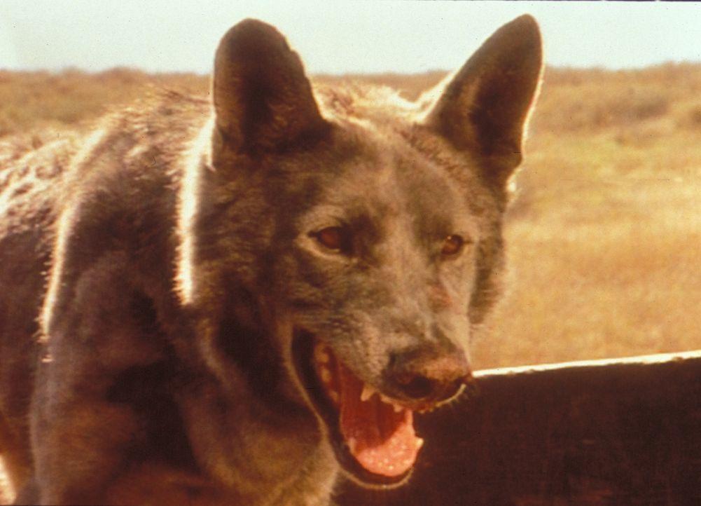 Der wilde Hund ist leider nur bei James zutraulich. Wütend knurrt er dagegen Charles und Caroline an. - Bildquelle: Worldvision