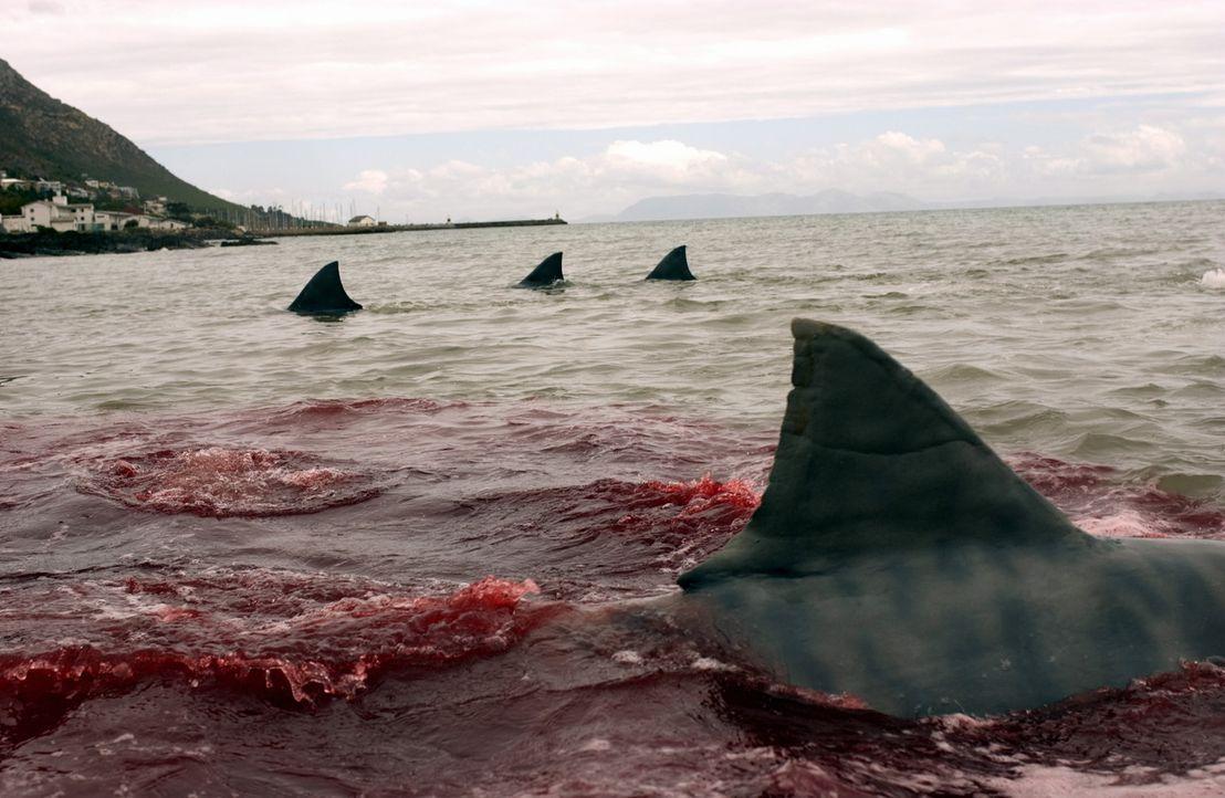 Immer wieder finden die Haie unter den leichtsinnigen jungen Leute neue Beute ... - Bildquelle: CBS Television