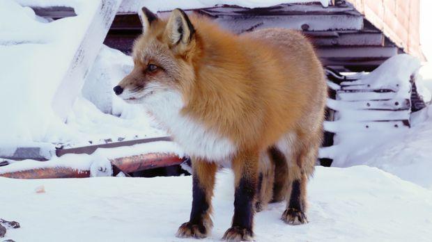 Der dunkle und düstere Winter ist in vollem Gange und die Bewohner Alaskas st...