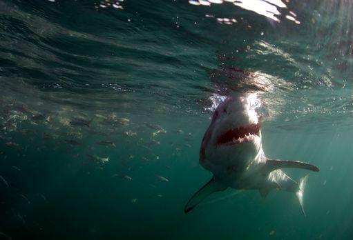 Colossus - Jagd nach dem Riesenhai - Colossus: Der weiße Riesenhai lebt wenig...