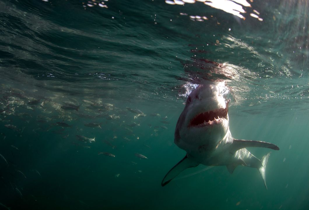 Colossus: Der weiße Riesenhai lebt wenige Kilometer vor der Küste von Südafrika, in der Nähe von Seal Island. Die Gewässer rund um diese kleine Inse... - Bildquelle: Chris Fallows Discovery Channel