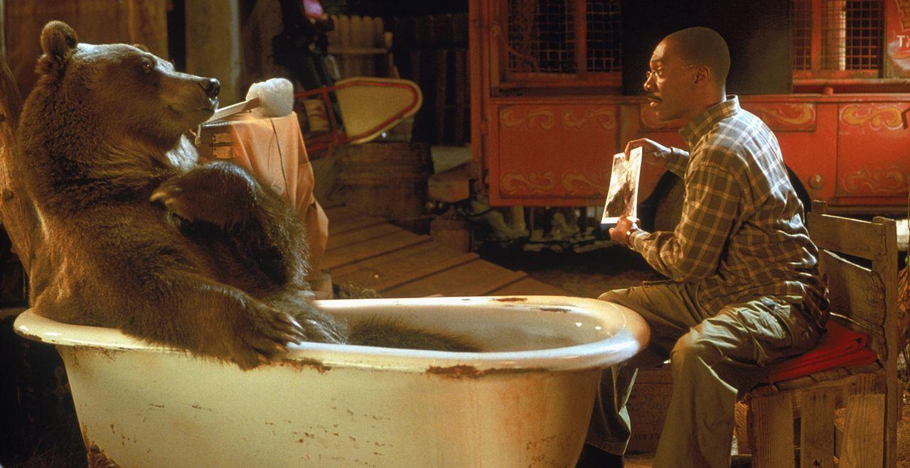 Lektion in Körperpflege: Dr. Dolittle (Eddie Murphy) zeigt seinem Freund, dem Bären Archie, wie man sauber bleibt ... - Bildquelle: 1998 Twentieth Century Fox Film Corporation. All rights reserved.