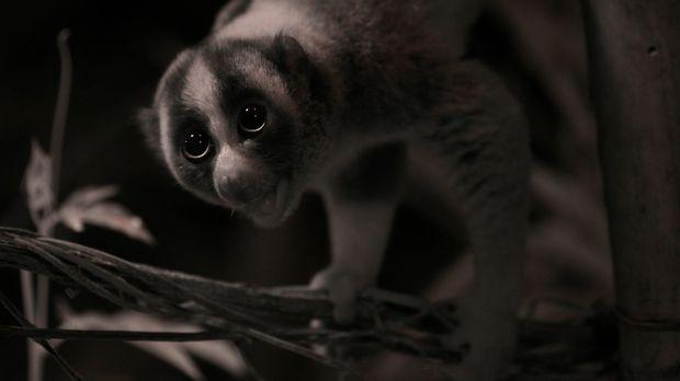 Gremlins aus dem Dschungel - Der Plumplori hat nicht nur einen niedlichen Nam...