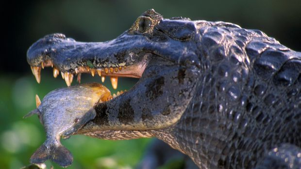 Krokodile bevölkern die Erde seit Ewigkeiten. Kein Wunder also, dass ihre Jag...