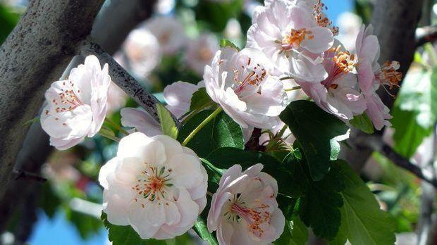 Frühlingsstauden