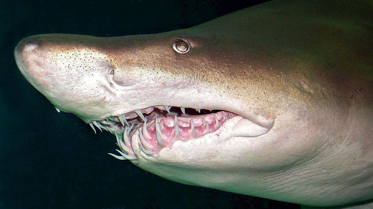 Sandtigerhai - Bildquelle: dpa