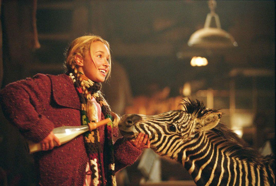 Liebevoll kümmert sich Channing (Hayden Panettiere, l.) um das verwaiste Zebrajunge Stripes (r.) ... - Bildquelle: Constantin Film