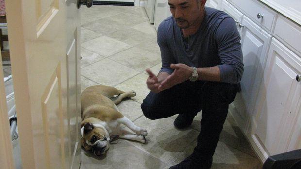 Die junge Bulldogge Stella macht ihren Besitzern das Leben schwer. Cesar gibt...