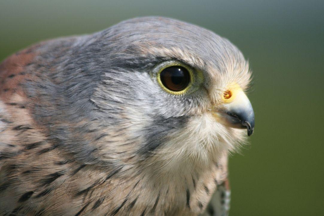 Atemberaubende Tierwelt. Kaum einer kam den schönesten, spannensten und beeindruckensten Tieren näher als der britische Dokumentarfilmer Sir David A... - Bildquelle: BBC 2012  All Rights Reserved