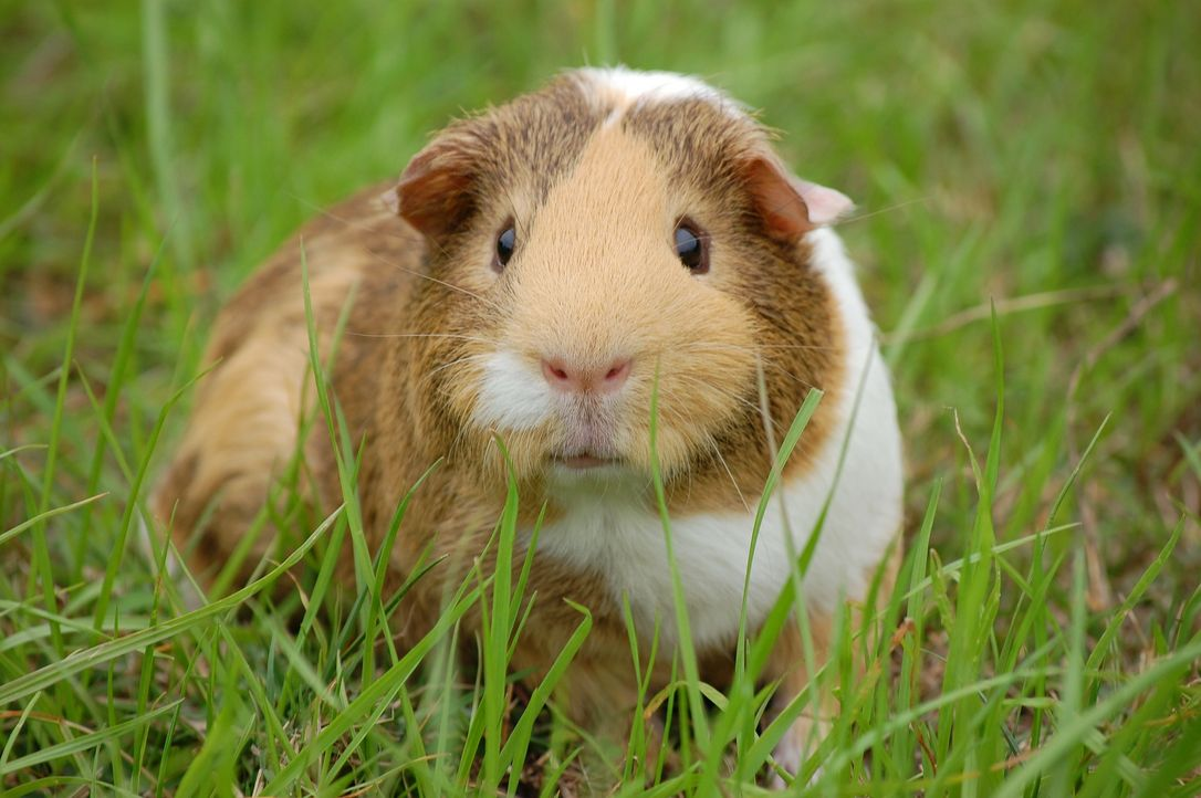 guinea-pig-242520_1920 - Bildquelle: Pixabay