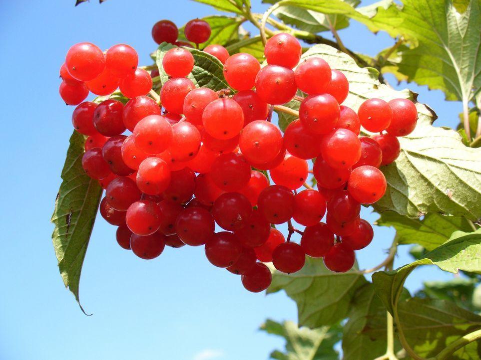 cranberry-93747_1920