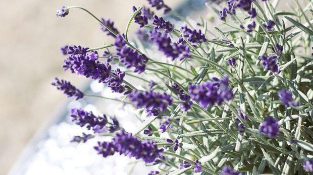 lavender-524505