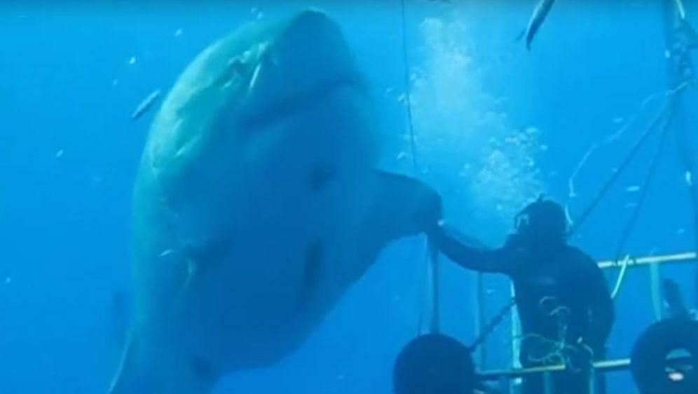 Größter Hai Der Welt Gefangen