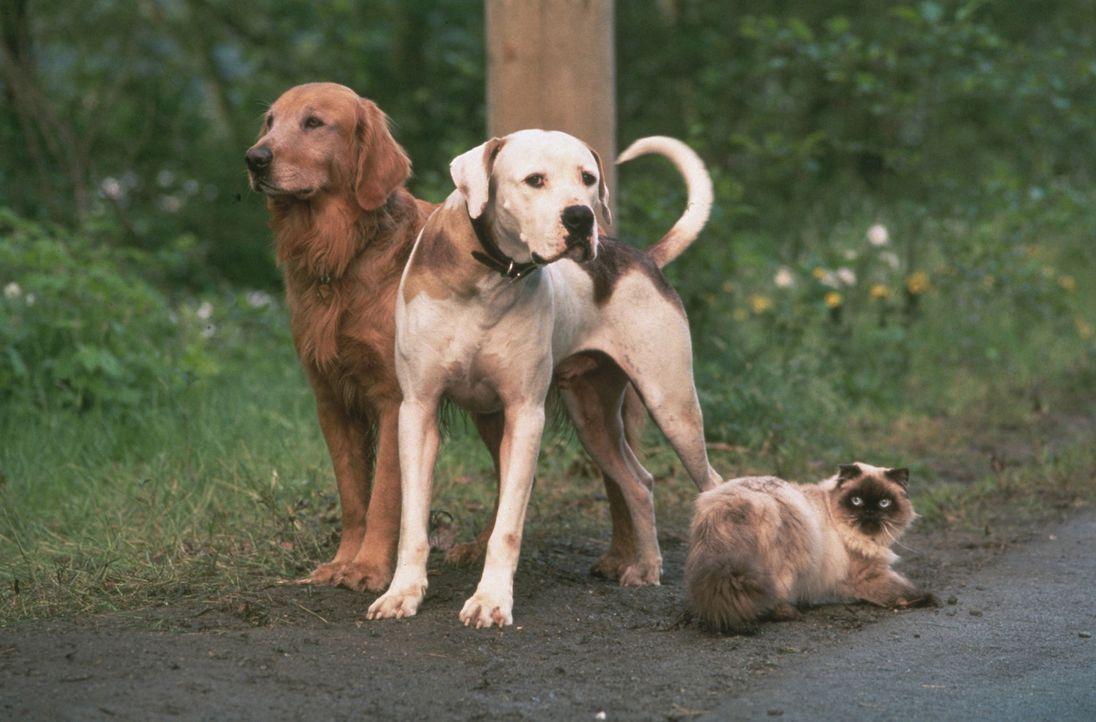 Werden sie ihre Familie jemals wieder sehen? Dogge Chance (M.), Golden-Retriever Shadow (l.) und Siamkatze Sassy (r.) wollen die Hoffnung nicht aufg... - Bildquelle: Walt Disney Pictures