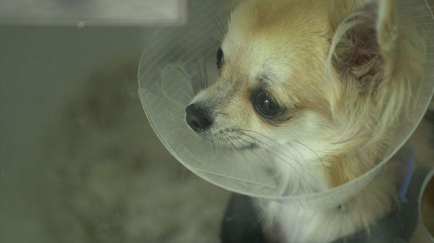 Tierarzt Noel Fitzpatrick hat sich auf besonders schwierige Fälle spezialisie...